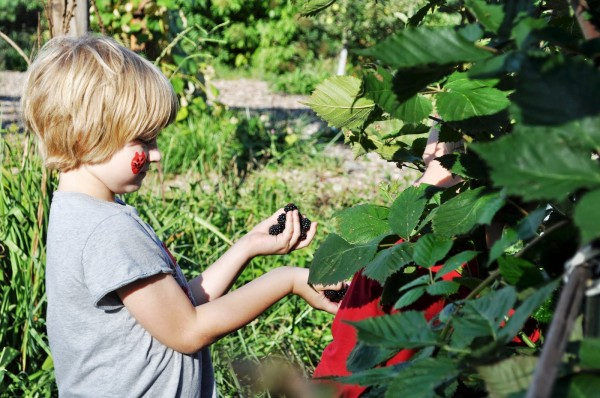 Kid Picking Blackberries