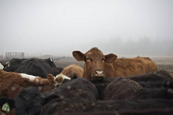 Cow in Cattle Farm